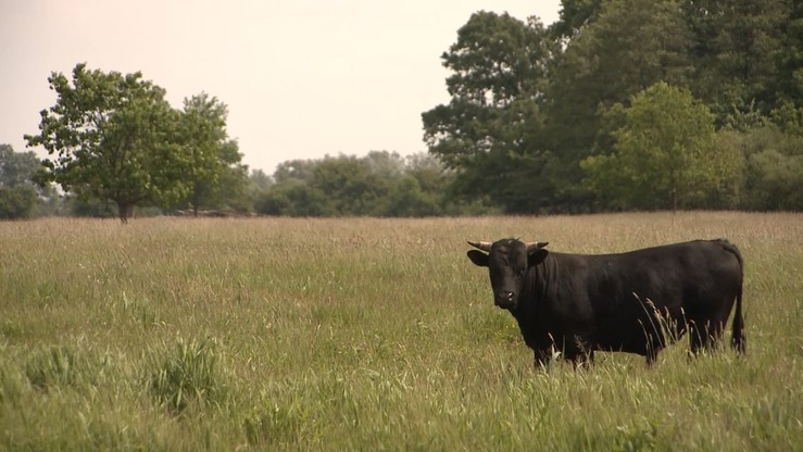 """""""Jeżeli krowy z Deszczna będą chore - zostaną ubite"""". Jest decyzja ministra rolnictwa"""