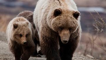 Grizli z Yellowstone przywrócone na listę zagrożonych gatunków